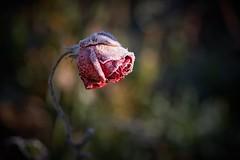 frozen (rondoudou87) Tags: flower fleur rose rouge red rondoudou87 pentax smcpentaxdfa100mmf28macrowr macro bokeh jardin garden nature natur froid frost frozen light lumière glace