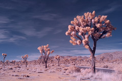Joshua Trees in Joshua Tree National Park (Solojoe) Tags: infrared590nm 590nm d300s falsecolor trees infraredconversion california joshuatreenationalpark joshuatree nationalpark road desert lifepixel