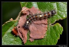 Chenille du Bombyx disparate (Limantria dispar) (cquintin) Tags: arthropoda lepidoptera erebidae limantria dispar chenille caterpillar bombyx