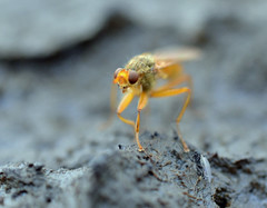 midwinter dung fly (conall..) Tags: nikonafsnikkorf18glens50mm prime lens primelens county down tullynacree nw551041 annacloy field northernireland desenfoque outoffocus narrow dof selective focus yellowdungfly goldendungfly scathophaga stercoraria scathophagidae