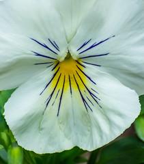 White Wings. (Omygodtom) Tags: flower flora white blue yellow fuzzy flickriver usgs nikon70300mmvrlens d7100 dof outside november autumn fall usg
