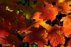 Lo spettacolo degli aceri rossi... (hmeyvalian) Tags: acerorosso feuilledérable mapleleaf érable autunno coloridautunno maples fall automne québeccanada canoneos7dmarkii tamron16300mm f3563diiivcpzd 1100s f63 52mm parcnature parcdelîledelavisitation montréal