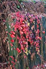 DSC_2238 (PeaTJay) Tags: nikond750 reading lowerearley berkshire gardens outdoors flora fauna plants flowers trees bushes