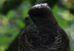 Common Buzzard (Buteo buteo) (Geoff Head*) Tags: buzzard commonbuzzard stovercountrypark devon naturephotography canon7dmark2 nature birdphotography britishbirds sigma150600sport uknaturephotography ukbirds