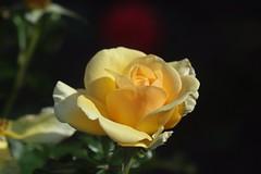 Atco Royale    Taylor Hobson Ental 80mm F 4.5 (情事針寸II) Tags: oldlens closeup bokeh yellow クローズアップ nature 自然 fleur 花 flower 薔薇園 rosegarden 薔薇 rose kasteelcoloma taylorhobsonental80mmf45