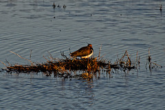 20181113_163438_DxO (SnapperNeil) Tags: lapwing