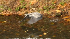 Grey Heron, 19112018, (30) f (alanblunden) Tags: lloydramsdenwalk wildbird riverwitham bird alongtheriver wildlife autumn grantham wild wyndhampark granthamsriversidewalkcycleway park greyheron river november uk water grey heron autumn2018 november2018