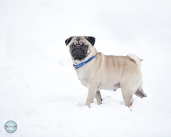 Thor in the Snow (SpringTrippReilly-Life's Elements Photography) Tags: ©springreilly lifeselementsphotography pug dog photography snow light brown beige blue collar winter puppy pet uxbridge port perry photographer