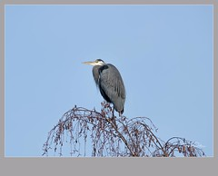 Flickr--2018-11-20-3958.jpg (frankpaliphotography) Tags: wetland nature water day standing one background ardea animal leg park blue wild great feathers gray grey bird heron outdoors animals tree wildlife herodias wading
