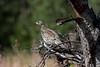 Hazel Grouse at Majavatn S24A0308 (grebberg) Tags: majavatn grane nordland norway august 2018 hazelgrouse bonasabonasia bonasa grouse bird