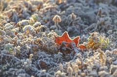 Autumn has a heart of gold (RdeUppsala) Tags: uppland uppsala escarcha frost ice hielo plantas plants växter löv leaf höst hoja naturaleza nature natur otoño autumn ricardofeinstein sverige suecia sweden