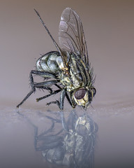 FLY (seewhy59) Tags: fly macro insect musca domestica d810