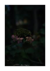 2018/10/8 - 8/9 photo by shin ikegami. - SONY ILCE‑7M2 / Voigtlander NOKTON CLASSIC 40mm f1.4 SC VM (shin ikegami) Tags: 紫陽花 macro マクロ flower 花 井の頭公園 吉祥寺 autumn 秋 sony ilce7m2 sonyilce7m2 s7ii 40mm voigtlander nokton nokton40mmf14sc tokyo photo photographer 単焦点 iso800 ndfilter light shadow 自然 nature 玉ボケ bokeh depthoffield naturephotography art photography japan earth asia