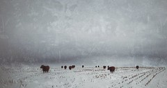 winter pasture... (BillsExplorations) Tags: winter snow cold badweather winterweather cattle cows field grunge pasture farm