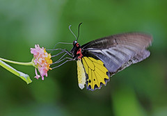 Common Birdwing : Feeding . . . flapping wings . . . (Clement Tang **busy**) Tags: 馬纓丹 如意草 臭花草 裳鳳蝶 commonbirdwing concordians closetonature closeup macrophotography autumnmorning travel lepidoptera butterfly greenbokeh greenbackground lantanacamara verbenaceae hongkong fungyuenbutterflyreserve male feeding floral proboscis nature nationalgeographic dof pinkflower insect insecta specinsect 鳳園蝴蝶保育區 flappingwings