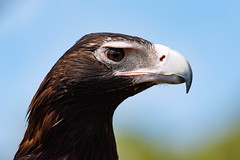 Aquiline (armct) Tags: eagle raptor predator carrion large wedgetailed portrait profile aquilaaudax oreillys queensland hinterland bird australia icon native indigenous bill hooked