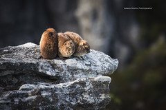 Dassie's (Explored! Thank you!) (ArmanWerthPhotography) Tags: dassie tablemountain armanwerthphotography wildlife south africa southafrica capetown