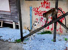 ,, Shadow Boxing ,, (Jon in Thailand) Tags: blue red green jungle puppy monkey dog k9 ape primate themonkeytemple shadowboxing babyshadow tails puppytail monkeytail puppyvsprimate nikon nikkor d300 175528 puppyears littledoglaughedstories