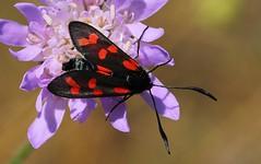 Six-spot Burnet - Zygaena filipendulae - Durlston CP Dorset (2) (Ann Collier Wildlife & General Photographer) Tags: sixspotburnet zygaenafilipendulae durlstoncp dorset durlstoncountrypark insects britishinsects dorsetwildlife