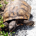 A gopher tortoise searches for food at the edge of a road near Launch Pad 39A. Original from NASA. Digitally enhanced by rawpixel.