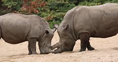 white rhino Burgerszoo 094A1185 (j.a.kok) Tags: rhino rhinoceros witteneushoorn whiterhino neushoorn animal afrika africa mammal zoogdier dier herbivore burgerszoo burgerzoo