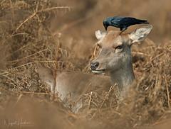 Red Deer (Nigel Hodson) Tags: canon 1dxmkii 600mmf4ii deer reddeer bushpark jackdaw corvid wildlife wildlifephotography nature naturephotography