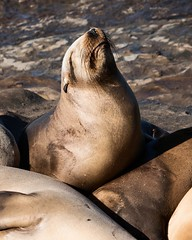 Emotional Seal at La Jolla Cove - La Jolla, California (ChrisGoldNY) Tags: challengewinners challengefactory funny humor sonyalpha sonya7rii sonyimages brown faces chrisgoldphoto chrisgoldberg chrisgoldny licensing forsale postcards greetingcards seals mammals sandiego socal cali california nature wildlife californian westcoast pacific animals whiskers