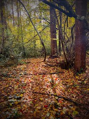 Autumn colour. (Albatross Imagery) Tags: beautifulcolours beautiful colourful colour trees tree leaves fall photographer photo photography flickrlandscape flickr instagram landscapephotographer landscapephotography landscape iphonephotography iphone iphonexsmax nature wood woods hampshirephotography hampshire uk autumn