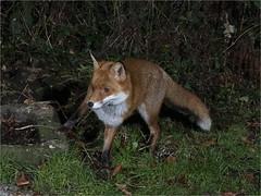 MKA_6552acs (kilyy) Tags: fox squirrel ngc hunter