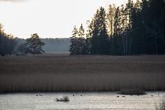 Out in the Autumn (aixcracker) Tags: autumn höst syksy porvoo borgå suomi finland november marraskuu nikond800 archipelago skärgård saaristo ekudden tamminiemi natur nature luonto tarkkis tarkkinen