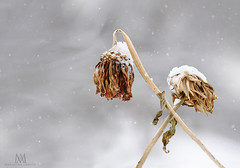 winter's blooms (marianna armata) Tags: winter flower dead head frozen dry dessicated macro snow snowing montreal canada mariannaarmata