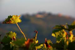 Neive 2  Langhe 18 (zanf89) Tags: neive alba langhe piemonte colline vino barolo nocciole