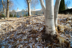 Birch, leaves, and a dusting (heightsfidelity) Tags: distagon 21 f28 zeiss zf2 adapted manual focus wide angle uwa