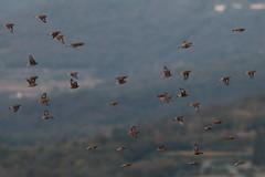 Fanello (carduelis cannabina) (Paolo Bertini) Tags: fanello linnet carduelis cannabina flight volo stormo flock boscomantico verona birdwatching birding
