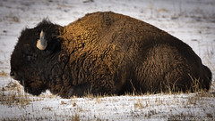 Nap Time (Ciavatta Photography) Tags: bison colorado rockymountainarsenal wildlife snow horn brown