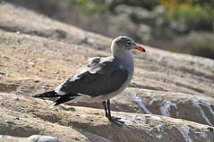 オグロカモメ (yuki_alm_misa) Tags: カモメ gull カリフォルニア 演習場 california lasfloresviewpoint usmccamppendleton theunitedstatesmarinecorps 西海岸 usmc アメリカ海兵隊
