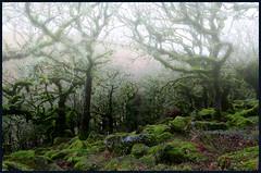 Dartmoor Mist. (curly42) Tags: dartmoor devon dartmoornationalpark mist trees countryside