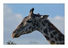 Girafe Narok Masai Mara (Claire PARMEGGIANI Photos) Tags: africa africangallery africanlife africanwildlife eastafrica gamedrive kenya giraffe safari wildlife wildafrica