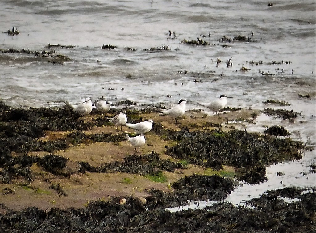 Sandwich Terns. Sterna sandvicensis