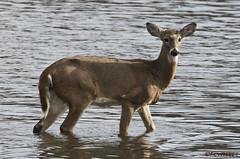 120118183261asmweb (ecwillet) Tags: deer nikon nikond500 nikon200500f56 wildwoodparkharrisburgpa ecwillet ericwillet