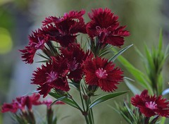 Dianthus (ACEZandEIGHTZ) Tags: dianthus nikon d3200 closeup bokeh red leaves green garden coth alittlebeauty coth5 sunrays5