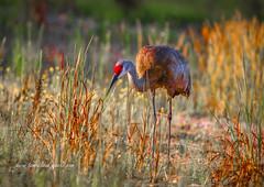 Sandhill Crane in Grass (tclaud2002) Tags: crane sandhillcrane bird wildlife outdoors nature mothernature grass tallgrass cypresscreek naturalarea cypresscreeknaturalarea jupiter florida usa