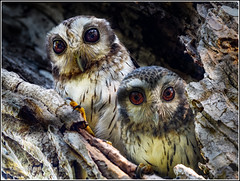 Cuban Screech Owls [Explored] (FotoRequest) Tags: birds animals wildlife nature endemic cuba ngc
