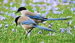 Pega Azul (Zéza Lemos) Tags: portugal pássaros aves ave jardim jardins jardineiro jacarandá árvores algarve vilamoura natureza natur