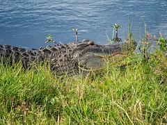 Alligator (rob_606) Tags: grass olympus circlebbarreserve lakehancock godoxv860iio nature water southwestfloridawatermanagementdistrict polkcounty lake olympusomdem1mkii lakeland wildlife bocc 12100mmf4 flash florida reptile alligator animal