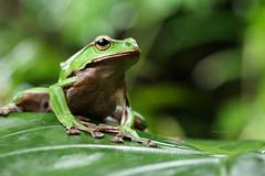 2J4A8075 (ajstone2548) Tags: 12月 樹蛙科 兩棲類 翡翠樹蛙