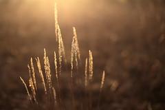 Gräser (geraldtourniaire) Tags: natur nature eos6d ef ef1450usm licht l 6d gegenlicht gräser goldene