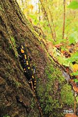 Fire Salamander (morbidtibor) Tags: slovenia bovec triglav bovecbasin salamander firesalamander forest wildlife