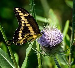 In Harm's Way (Portraying Life, LLC) Tags: michigan unitedstates butterfly k3ii pentax da3004 hd14tc handheld nativelighting closecrop