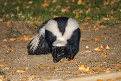 Well this is a funny looking cat... (Mephitidae) Skunk (RStonejr) Tags: animalplanet blackwhite leaves 2018 fur strippedskunk stinky stink smelly skunky flash nightphotography night fall owensvalley 80d canon80d canon wild wildlife wildanimal outside naturephotography natur nature rs2pics rossstone ross animal skunk mephitidae